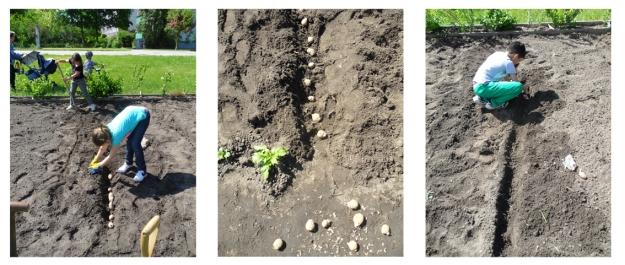 Garten-Club pflanzt Kartoffeln RO
